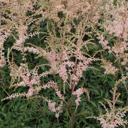 Čechrava 'Hennie Graafland' - Astilbe simplicifolia 'Hennie Graafland'