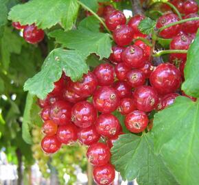 Rybíz červený 'Losan' - Ribes rubrum 'Losan'