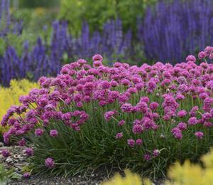Trávnička trsnatá 'New Zealand Form' - Armeria juniperifolia 'New Zealand Form'