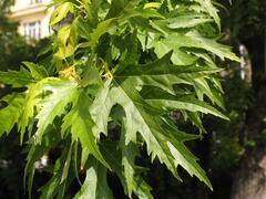 Javor stříbrný 'Wieri Laciniatum' - Acer saccharinum 'Wieri Laciniatum'