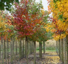 Javor červený 'October Glory' - Acer rubrum 'October Glory'