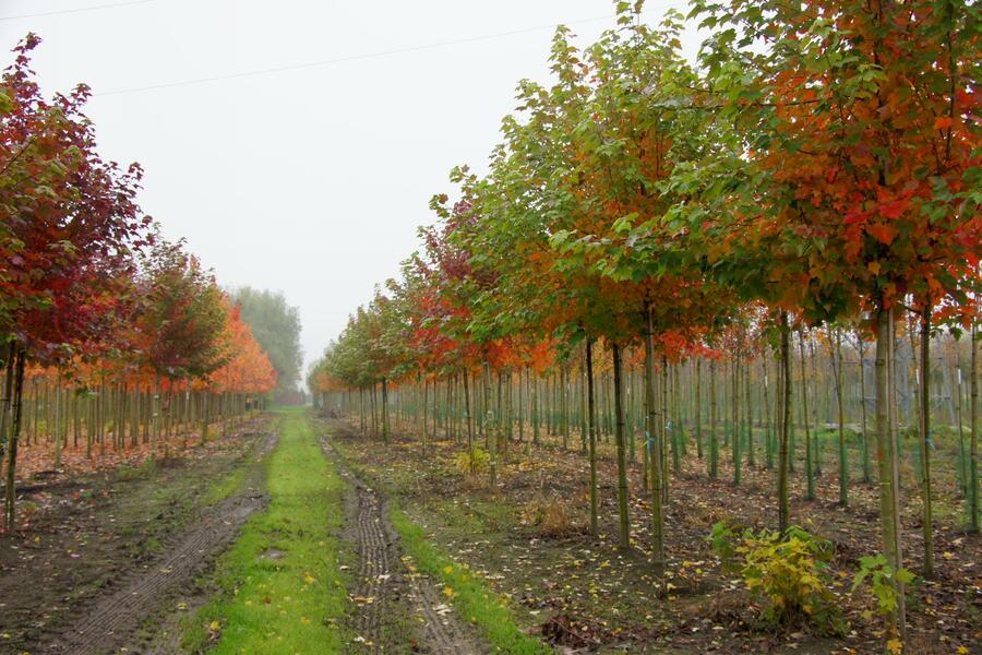 Javor červený 'October Glory' - Acer rubrum 'October Glory'