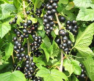 Rybíz černý 'Favorit' - Ribes nigrum 'Favorit'