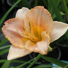 Denivka 'Spacecoast Early Bird' - Hemerocallis 'Spacecoast Early Bird'