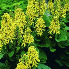 Popelivka 'Little Lantern' - Ligularia 'Little Lantern'