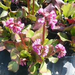 Bergénie srdčitá - Bergenia cordifolia