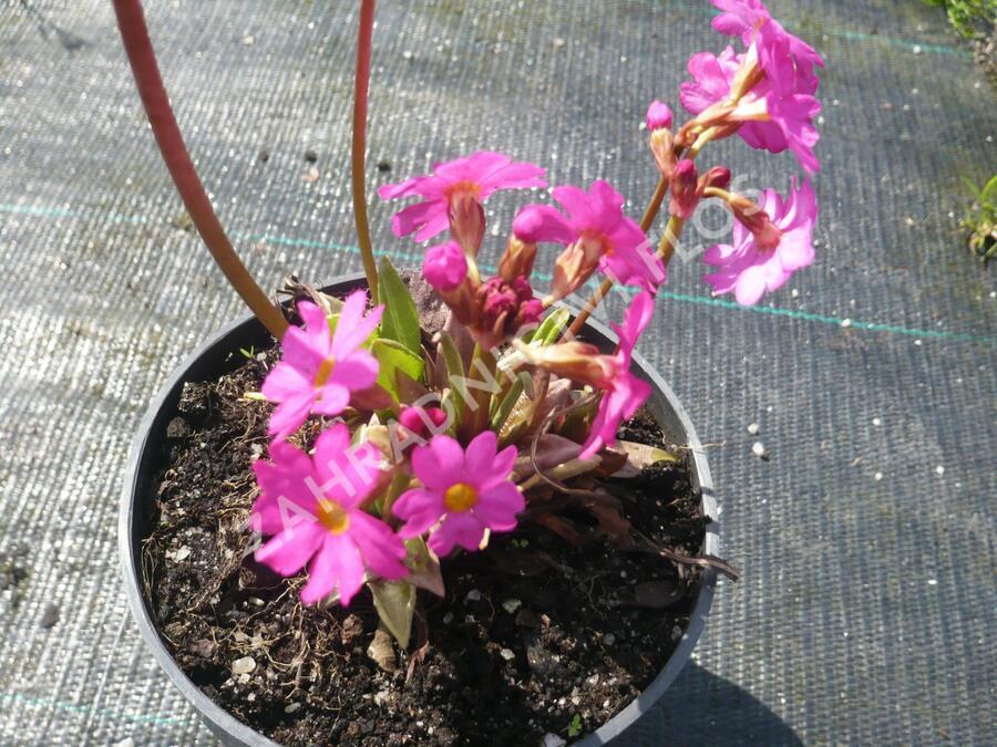 Prvosenka růžová 'Gigas' - Primula rosea 'Gigas'