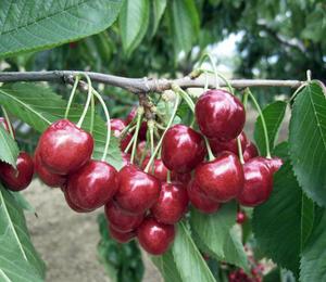 Třešeň pozdní - chrupka 'Lapins' - Prunus avium 'Lapins'