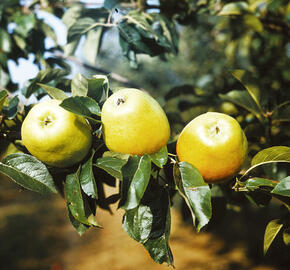 Jabloň zimní 'Zvonkové' - Malus domestica 'Zvonkové'