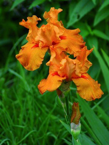 Kosatec německý 'Firebreather' - Iris barbata-elatior 'Firebreather'