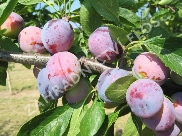 Slíva - velmi raná 'Opál' - Prunus domestica 'Opál'