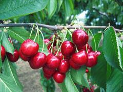 Třešeň pozdní - chrupka 'Stella' - Prunus avium 'Stella'