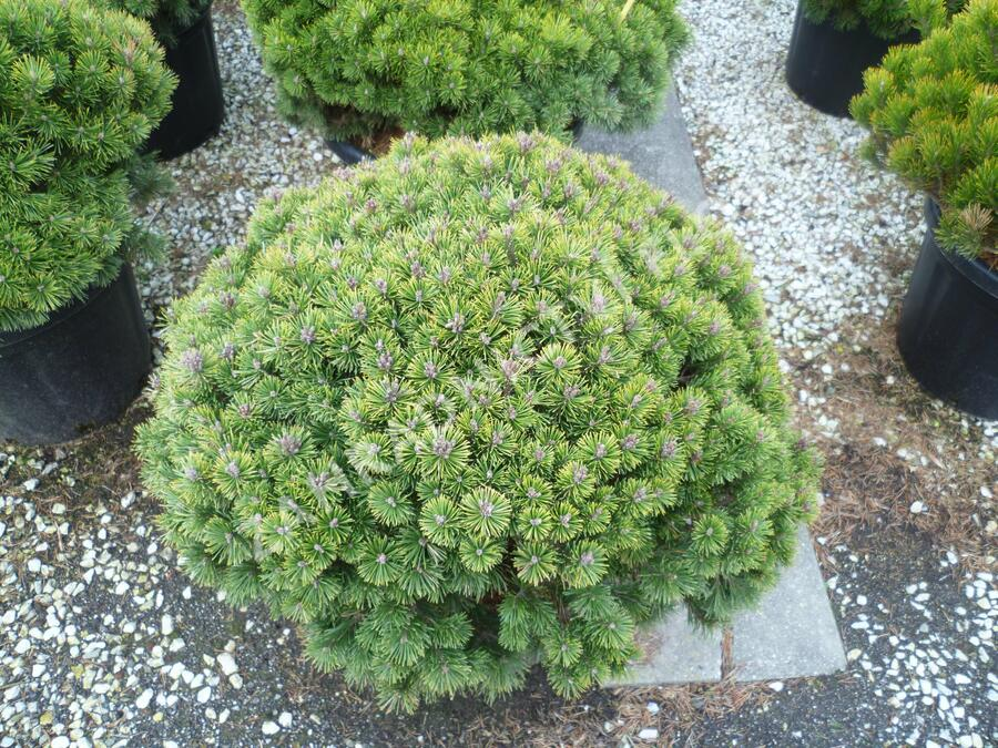 Borovice kleč 'Mops' - Pinus mugo 'Mops'