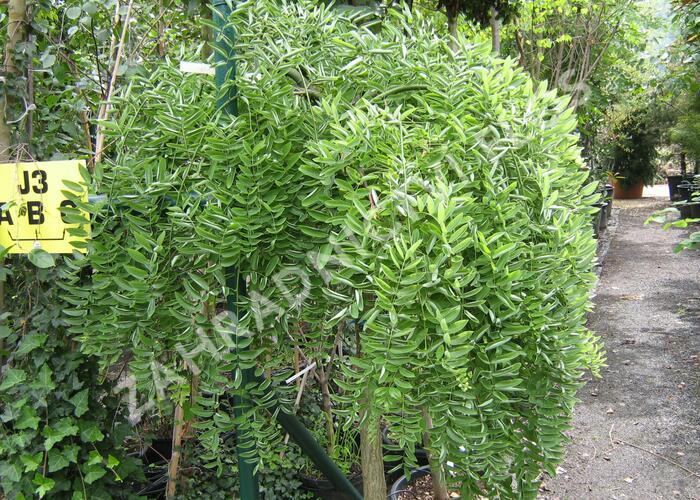 Jerlín japonský 'Pendula' - Sophora japonica 'Pendula'
