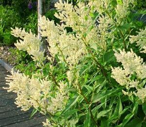 Rdesno - Persicaria polymorpha