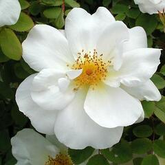 Růže parková 'Nevada' - Rosa S 'Nevada'