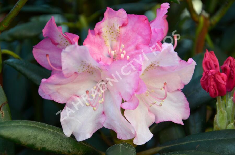 Pěnišník 'Kalinka' - Rhododendron (Y) 'Kalinka'