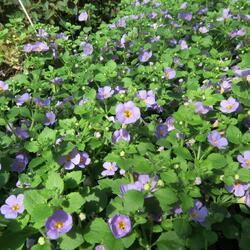 Bakopa 'Cabana Jumbo Lavender' - Sutera diffusus 'Cabana Jumbo Lavender'