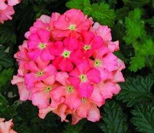 Verbena, sporýš 'Star Dreams Peach' - Verbena hybrida 'Star Dreams Peach'