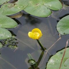 Stulík žlutý - Nuphar lutea