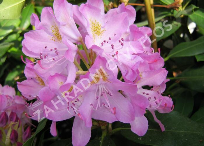 Pěnišník černomořský 'Roseum' - Rhododendron ponticum 'Roseum'