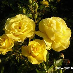 Růže mnohokvětá Kordes 'Friesia' - Rosa MK 'Friesia'