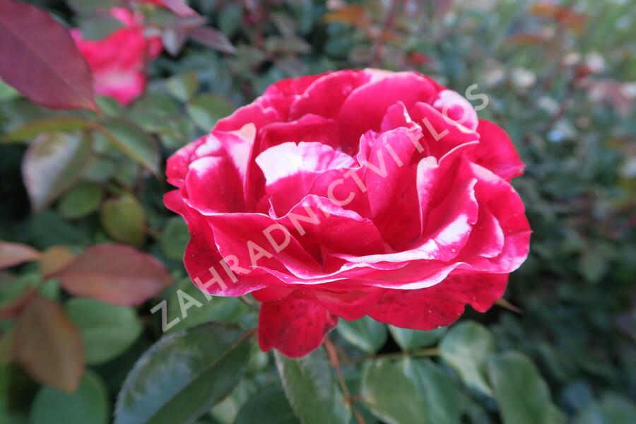 Růže velkokvětá 'Nostalgie' - Rosa VK 'Nostalgie'