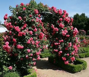 Růže pnoucí 'Rosarium Uetersen' - Rosa PN 'Rosarium Uetersen'