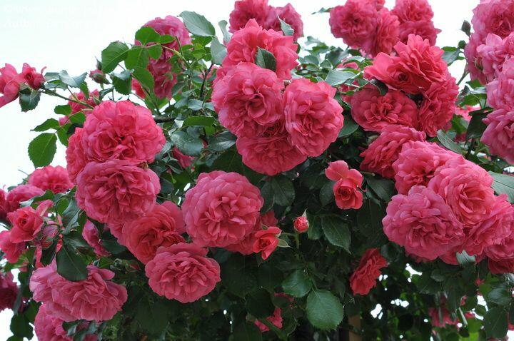 Růže pnoucí Kordes 'Rosarium Uetersen' - Rosa PN 'Rosarium Uetersen'
