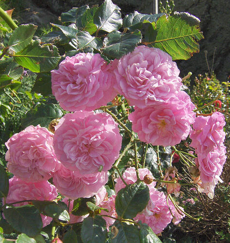 Růže pnoucí 'Coral Dawn' - Rosa PN 'Coral Dawn'