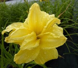 Denivka 'Double River Wye' - Hemerocallis 'Double River Wye'