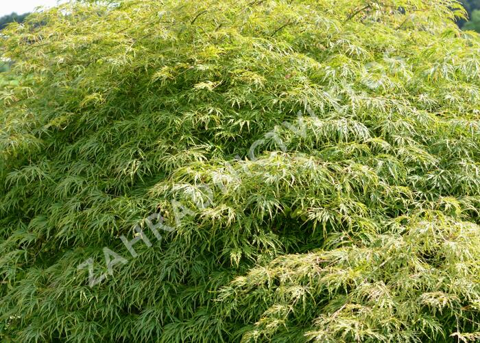 Javor dlanitolistý 'Dissectum' - Acer palmatum 'Dissectum'
