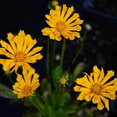 Krásnoočko velkokvěté 'Jethro Tull' - Coreopsis grandiflora 'Jethro Tull'