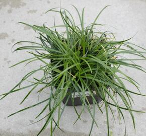 Sedoulek 'Crispum' - Ophiopogon chingii 'Crispum'