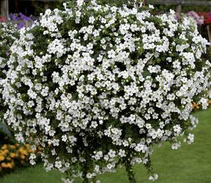 Bakopa 'Baristo Midi White' - Sutera diffusus 'Baristo Midi White'