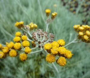 Smil 'Icicles' - Helichrysum stoechas 'Icicles'