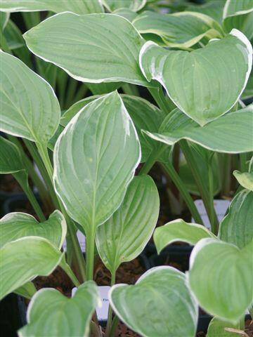 Bohyška 'Fragrant Fire' - Hosta 'Fragrant Fire'