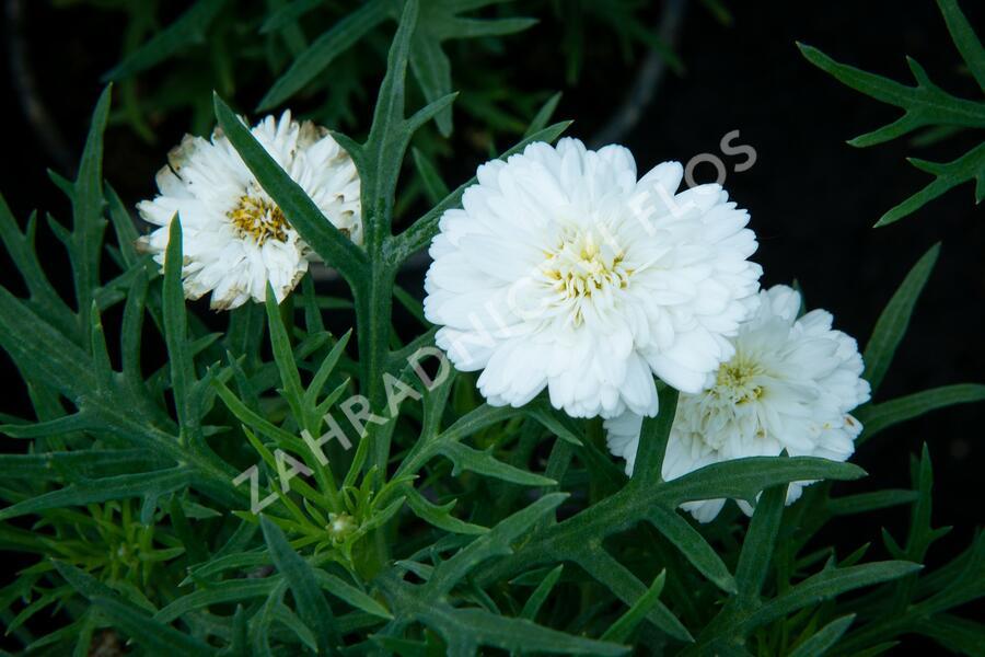 Kopretina pařížská 'Aramis Double White' - Argyranthemum frutescens 'Aramis Double White'