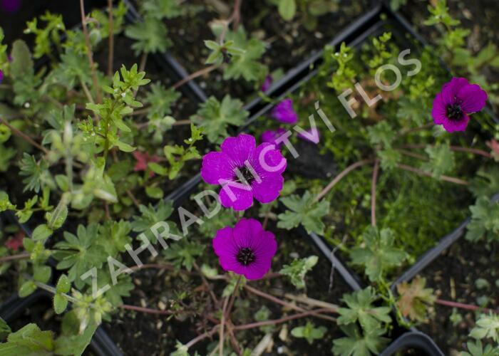 Kakost sivý 'Violacea' - Geranium cinereum 'Violacea'