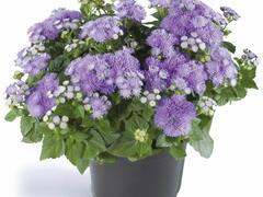 Nestařec americký 'Ariella Blue' - Ageratum houstonianum 'Ariella Blue'