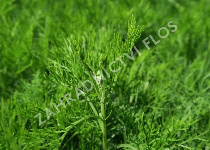 Pelyněk bílý 'Cola' - Artemisia alba 'Cola'
