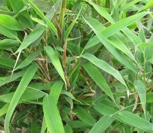 Bambus - Fargesia rufa