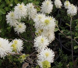 Fotergila, kuska - Fothergilla major