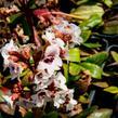 Bergénie srdčitá 'Angel Kiss' - Bergenia cordifolia 'Angel Kiss'