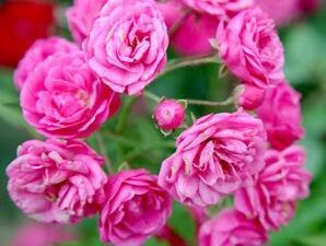 Růže mnohokvětá 'Gabrielle Privat' - Rosa MK 'Gabrielle Privat'