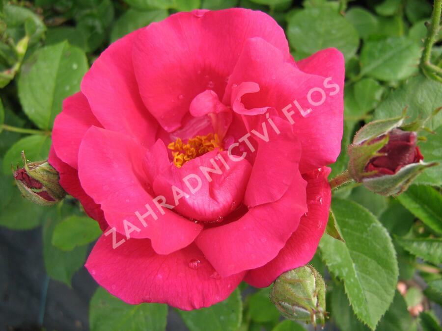 Růže mnohokvětá 'Zorka' - Rosa MK 'Zorka'