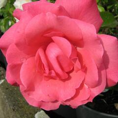 Růže mnohokvětá 'Tom Tom' - Rosa MK Symfonie 'Tom Tom'