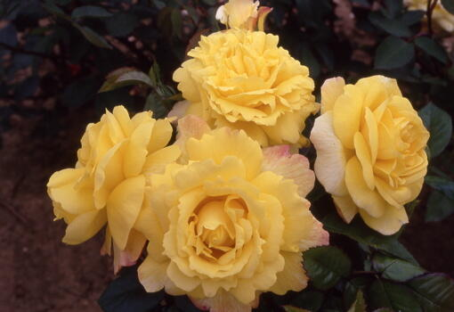 Růže mnohokvětá 'Chinatown' - Rosa MK Symfonie 'Chinatown'