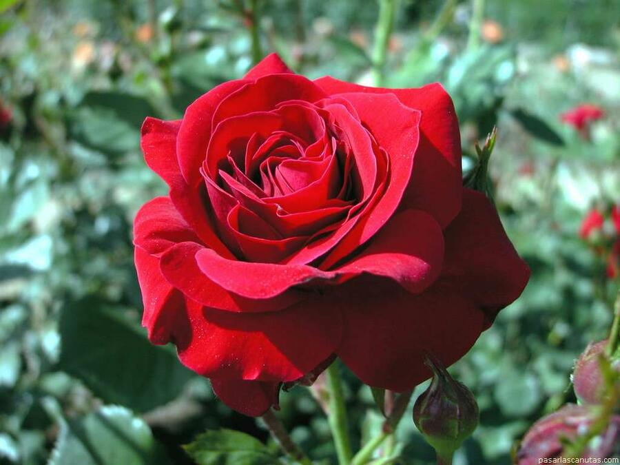Růže mnohokvětá 'Nina Weibull' - Rosa MK Romantika 'Nina Weibull'