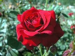 Růže mnohokvětá 'Nina Weibull' - Rosa MK 'Nina Weibull'